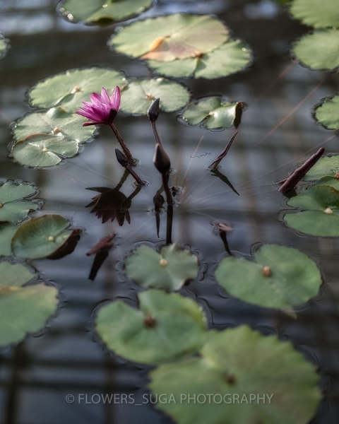 Цветы на фотографиях Хисаши Сугам1
