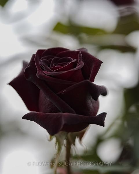 Цветы на фотографиях Хисаши Сугам3