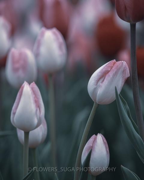 Цветы на фотографиях Хисаши Сугам2